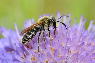 Mining Bee (Andrena hattorfiana) on Small Scabious (Scabiosa columbaria) flower, Vosges du Nord National Park, France  -  Michel Rauch/ Biosphoto