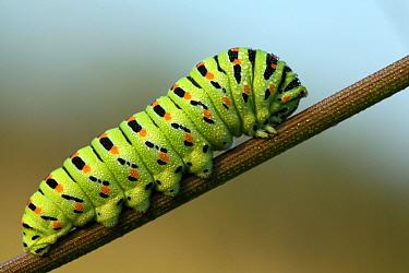 Oldworld Swallowtail (Papilio machaon) caterpillar, Aquitaine, France  -  Bernard Dubreuil/ Biosphoto