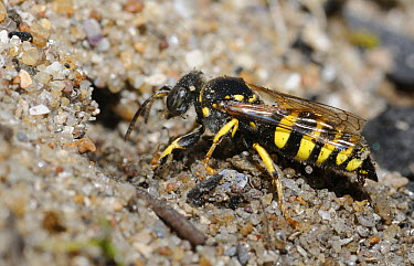 Sand Wasp (Bembix sp) digging tunnel, Vosges du Nord National Park, France  -  Michel Rauch/ Biosphoto
