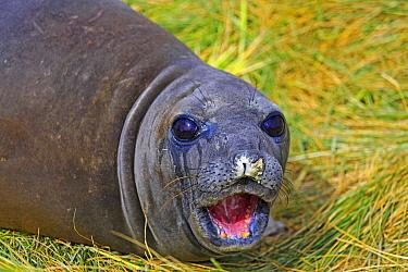 Southern Elephant Seal (Mirounga leonina) pup calling in Tussock Grass (Poa flabellata), Falkland Islands  -  Alain Mafart-Renodier/ Biosphoto