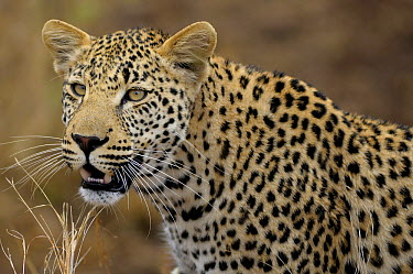 Leopard (Panthera pardus) male, Kruger National Park, South Africa  -  Tina Malfilatre/ Biosphoto
