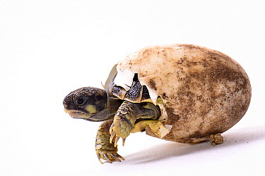 Hermann's Tortoise (Testudo hermanni) hatching, France  -  Claude Thouvenin/ Biosphoto