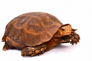 Eroded Hingeback Tortoise (Kinixys erosa), France  -  Claude Thouvenin/ Biosphoto
