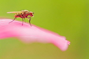 Root-Maggot Fly (Anthomyiidae) on flower, Alsace, France  -  Benoit Personnaz/ Biosphoto