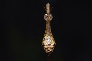 Jumping Stick (Proscopia scabra), Kaw Mountains, French Guiana  -  Quentin Martinez/ Biosphoto