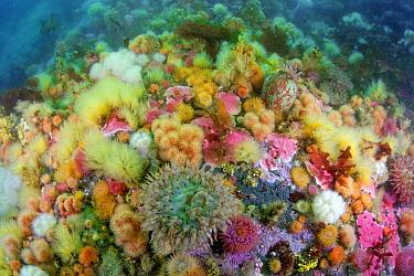 Sea anemones and sponges, Alaska  -  Bruno Guenard/ Biosphoto