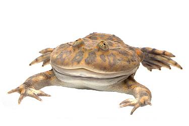 Budget Frog (Lepidobatrachus laevis), France  -  Michel Gunther/ Biosphoto