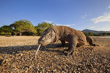 Komodo Dragon (Varanus komodoensis) on beach, Komodo Island, Indonesia  -  Nicolas Cegalerba/ Biosphoto