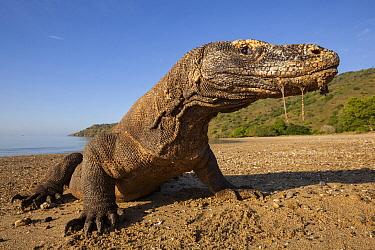 Komodo Dragon (Varanus komodoensis) on beach dripping saliva, Komodo Island, Indonesia  -  Nicolas Cegalerba/ Biosphoto