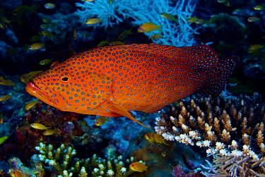 Coral Grouper (Cephalopholis miniata), Maldives  -  Leonardo Olmi/ Biosphoto