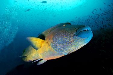 Double-headed Maori Wrasse (Cheilinus undulatus), Maldives  -  Leonardo Olmi/ Biosphoto