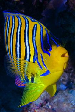 Royal Angelfish (Pygoplites diacanthus), Maldives  -  Leonardo Olmi/ Biosphoto