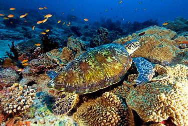Green Sea Turtle (Chelonia mydas) on coral reef, Maldives  -  Leonardo Olmi/ Biosphoto