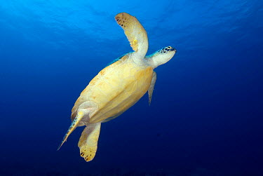 Green Sea Turtle (Chelonia mydas) swimming, Maldives  -  Leonardo Olmi/ Biosphoto