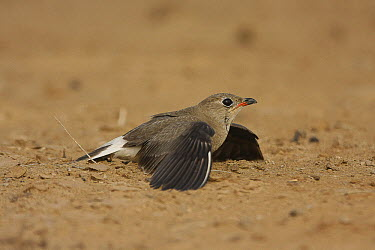 Collared Pratincole (Glareola pratincola) female pretending to be injured to distract intruder from nest, Senegal  -  Cecile Bloch/ Biosphoto