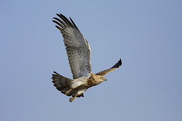 Short-toed Snake-Eagle (Circaetus gallicus) flying, Senegal  -  Cecile Bloch/ Biosphoto