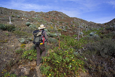 Botanist hiking, San Benito Island, Baja California, Mexico  -  Richard Herrmann