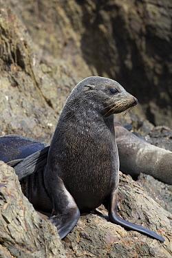 Guadalupe Fur Seal (Arctocephalus townsendi) female, San Benito Island, Baja California, Mexico  -  Richard Herrmann