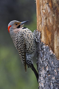 Northern Flicker (Colaptes auratus) clinging to tree trunk, Alaska  -  Michael Quinton