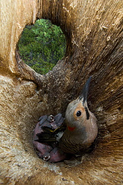 Northern Flicker (Colaptes auratus) parent brooding chicks in nest cavity, Alaska  -  Michael Quinton