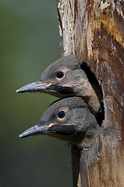Northern Flicker (Colaptes auratus) chicks in nest cavity ready to fledge, Alaska  -  Michael Quinton