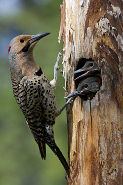 Northern Flicker (Colaptes auratus) at nest cavity with chicks, Alaska  -  Michael Quinton