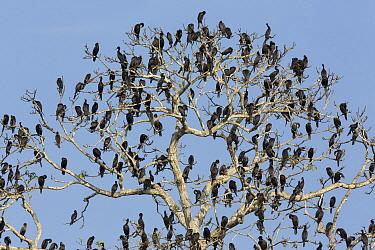 Neotropic Cormorant (Phalacrocorax brasilianus) flock in tree, Pacaya Samiria National Park, Peru  -  Cyril Ruoso
