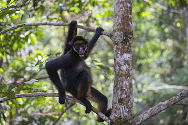 White-bellied Spider Monkey (Ateles belzebuth), Pacaya Samiria National Park, Peru  -  Cyril Ruoso