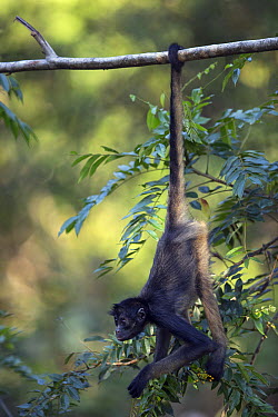 White-bellied Spider Monkey (Ateles belzebuth) hanging in branch, Pacaya Samiria National Park, Peru  -  Cyril Ruoso