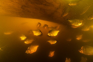 Piranha (Serrasalmidae) group,Samiria River, Pacaya Samiria National Park, Peru  -  Cyril Ruoso
