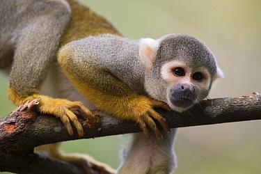 Bare-eared Squirrel Monkey (Saimiri ustus) in tree, Peru  -  Cyril Ruoso