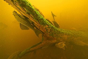 Pinecone Sucker Catfish (Monistiancistrus carachama) group, Pacaya Samiria National Park, Peru  -  Cyril Ruoso