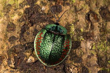 Leaf Beetle (Chrysomelidae), Pacaya Samiria National Park, Peru  -  Cyril Ruoso