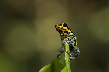 Mimic Poison Frog (Dendrobates imitator), Amazon, Peru  -  Cyril Ruoso