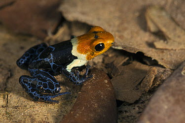 Red-headed Poison Frog (Dendrobates fantasticus), Amazon, Peru  -  Cyril Ruoso