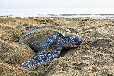 Leatherback Sea Turtle (Dermochelys coriacea) female digging nest, Trinidad, West Indies, Caribbean  -  Konrad Wothe