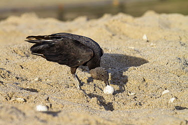 American Black Vulture (Coragyps atratus) feeding on sea turtle egg on beach, Trinidad, West Indies, Caribbean  -  Konrad Wothe