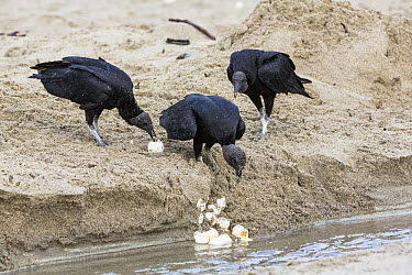 American Black Vulture (Coragyps atratus) feeding on sea turtle eggs on beach, Trinidad, West Indies, Caribbean  -  Konrad Wothe
