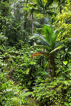 Palm trees in rainforest, Tobago, West Indies, Caribbean  -  Konrad Wothe