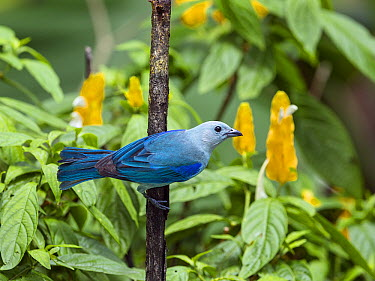 Blue-gray Tanager (Thraupis episcopus), Tobago, West Indies, Caribbean  -  Konrad Wothe