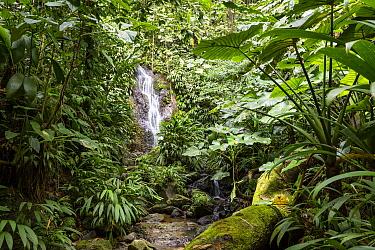 Cascading creek in rainforest, Trinidad, West Indies, Caribbean  -  Konrad Wothe