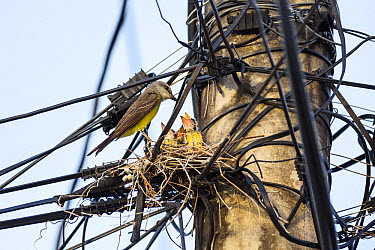 Tropical Kingbird (Tyrannus melancholicus) female on nest with chicks on powerline pole, Tobago, West Indies, Caribbean  -  Konrad Wothe