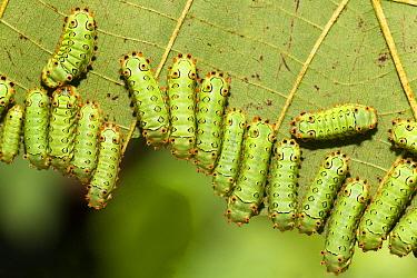 Forester Moth (Cyclosia sp) caterpillars in rainforest, Pucallpa, Peru  -  Konrad Wothe