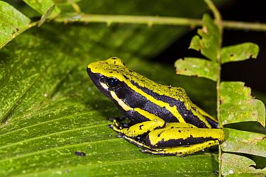 Three-striped Poison Dart Frog (Ameerega trivittata), Panguana Nature Reserve, Peru  -  Konrad Wothe
