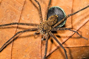 Spider (Trechalea sp) with egg sac, Panguana Nature Reserve, Peru  -  Konrad Wothe
