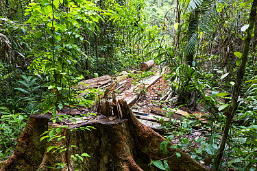 Selectively logged tree, Panguana Nature Reserve, Peru  -  Konrad Wothe
