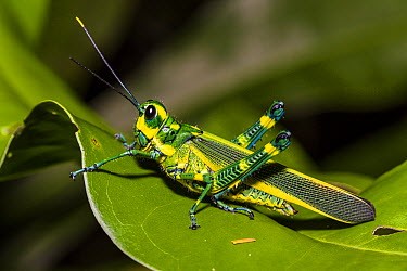 Lubber Grasshopper (Chromacris sp) in rainforest, Panguana Nature Reserve, Peru  -  Konrad Wothe