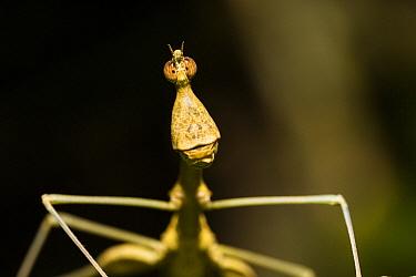 Jumping Stick (Apioscelis bulbosa), Panguana Nature Reserve, Peru  -  Konrad Wothe