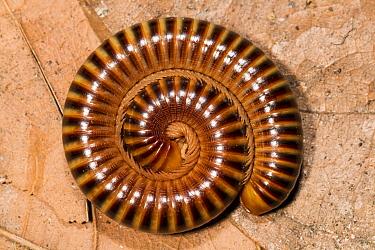 Millipede in defensive posture, Panguana Nature Reserve, Peru  -  Konrad Wothe