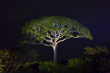 White Silk Floss Tree (Chorisia insignis) at night, Panguana Nature Reserve, Peru  -  Konrad Wothe